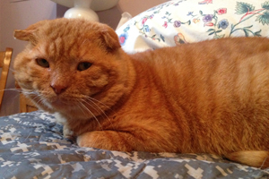 """""""Scottish fold"""" cat Gepetto is now a pampered housecat"""