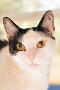 Gertrude the cat who is blind at Best Friends Animal Sanctuary