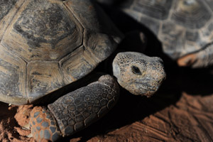 Desert tortoise at Wild Friends
