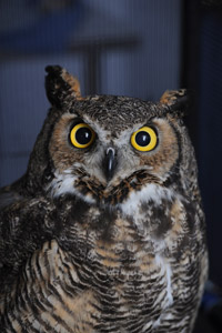 Great horned owl who is receiving medical treatment at Best Friends Animal Sanctuary