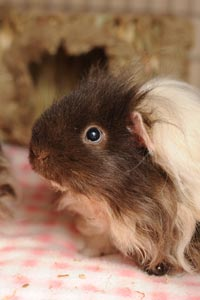 Chewy the guinea pig