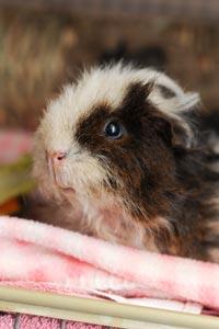 Furby the guinea pig