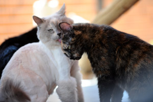 Korki Torti the tortoiseshell cat from Lebanon with a white and orange cat
