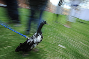 Amelia the duck going for a walk on a harness