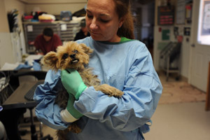Gus Gus the Yorkie being held by a vet tech