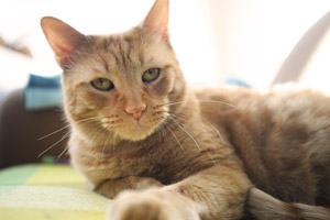 Banjo the orange tabby cat, the newest Canines with Careers employee who cat tests dogs