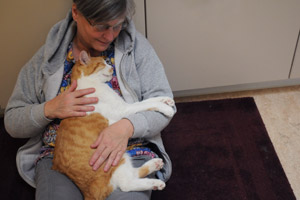 Felix the orange and white cat with hyperthyroidism gets a snuggle from Barbara