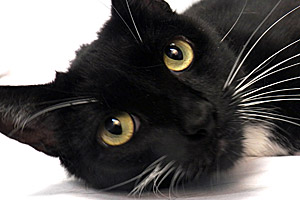 Nona the tuxedo cat from Blue Mountain Humane Society