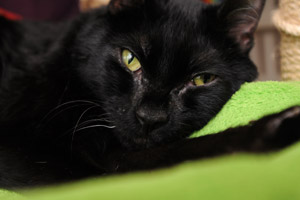 Duke the cat who has cerebellar hypoplasia (CH)
