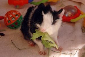 Guinea pig baby eating lettuce