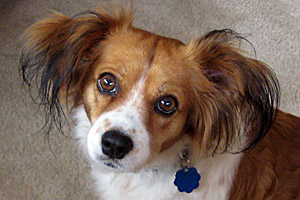 Eudora the Cavalier King Charles spaniel and Papillon mix who survived distemper