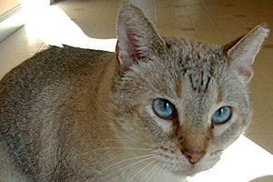 Bob Gast the three-legged feral Siamese cat displays his ear tip and beautiful blue eyes