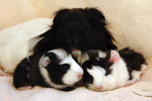 Guinea pig babies with their mom