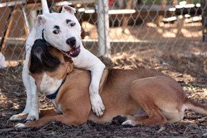 Two dogs Groucho and Hamlet wrestling during playgroup time