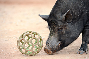 Jack the pig rolling a ball during Parelli training