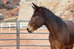 Jake the mule