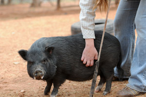 Joanna the pig goes for a walk