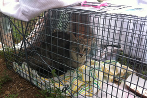 Cat in trap as part of mass TNR effort in Southern Utah