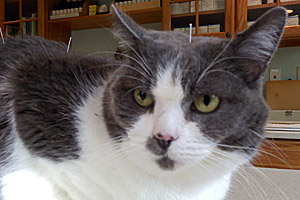 Bones the gray and white cat from Merrimack River Feline Rescue