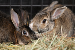 Nancy and Olivia are a bonded pair of rabbits from the Long Beach City College campus