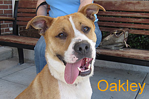 Oakley the pitbull who found his home