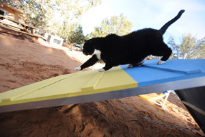 Orson the cat doing agility work