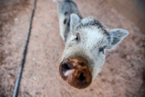 Poppy the white and grey pig from the Ironwood Pig Sanctuary