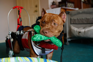 Partially paralyzed pit bull using a cart and carrying a toy in his mouth