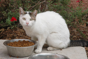 Community cat in San Antonio who has been spayed as part of San Antonio Animal Care Services' TNR program