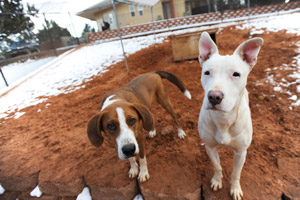 Jewel the white dog with Sophie Lee the brown and white dog at Best Friends Animal Sanctuary
