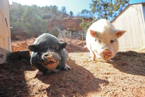 Oliver the pig has made friends with Teddy, another pig