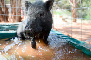 Tobias the grey pig from the Ironwood Pig Sanctuary