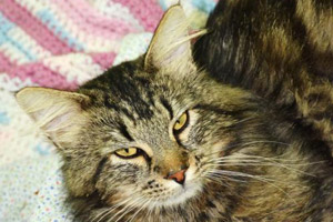 Big Mac the adoptable tabby cat from West Columbia Gorge Humane Society in Washington