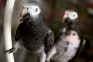 Kiwi and Higgins, a bonded pair of Timneh African grey parrots