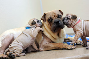 Ori-pei dog with her puppies