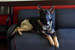 Cash the German shepherd sitting on a couch after his recovery from surgery