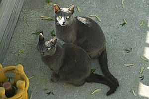 Simon and Gemini, two grey feral cats, from Safe House Animal Rescue League