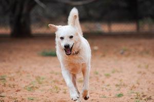 Kronk the dog taking a run