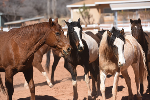 Rocky the horse with navicular disease and ringbone interacting with other horses