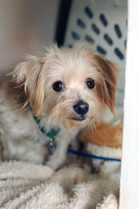 Little dog who was rescued from a commercial dog breeding facility