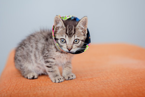 Zafar the silver tabby kitten had surgery to fix his injured mouth. Here is is wearing his e-collar.