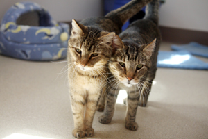 Two cats who have been successfully introduced to one another are now best friends
