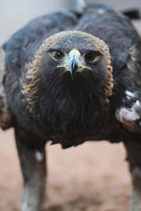 Jacobs Lake Golden Eagle gets rehab at Best Friends