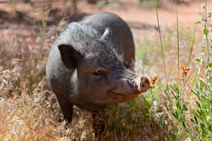 Joanna the pig who who was adopted from Best Friends Animal Sanctuary