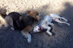Keith the white pit bull wrestling with another dog