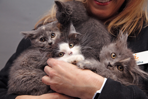 Woman holding armful of kittens (Kelly Garrett and her litter mates) who are now socialized