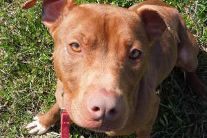 Lacey the pit bull terrier who was adopted after BDL was struck down in Watertown, Wisconsin
