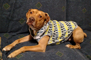 Lakota the dog who was rescued from a dogfighting ring