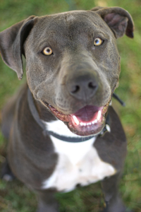 Levi, an exceptionally handsome, steel-grey pit bull terrier