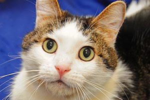 Spencer the cat from Louisville Metro Animal Services